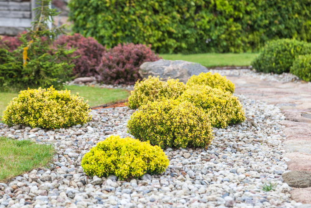 shrubs planted in a gravel bed